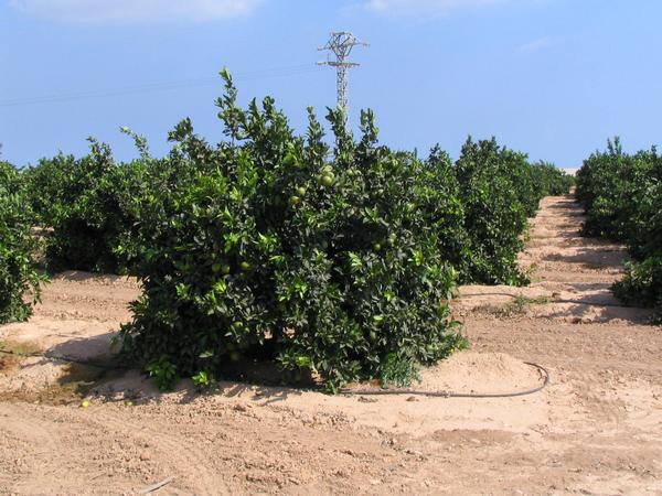 Orange plantation in Murcia Few kms distant from new golf resort Mar Menor are an orange plantation. At the middle of September the fruit is still immature.